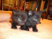 Красивые черные котята